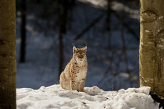 An isolated Lynx in the snow background while looking at you in the beautiful light. Of the sunny day stock photo