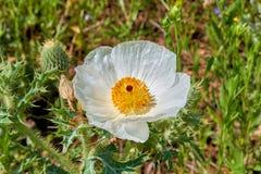 Isolated Macro of Beautiful White Prickly Poppy Argemone albiflora Texas Bull Nettle. Close Up royalty free stock photos