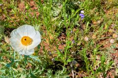 Isolated Macro of Beautiful White Prickly Poppy Argemone albiflora Texas Bull Nettle. Close Up stock photo
