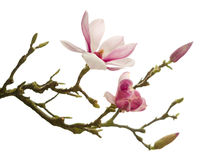 Isolated magnolia Stock Images