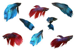 Isolated Male Beta Fish Royalty Free Stock Photography