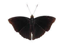 Isolated male of black siamese prince butterfly Royalty Free Stock Images