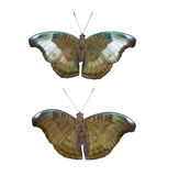 Isolated male and female red spot duke butterfly Royalty Free Stock Image