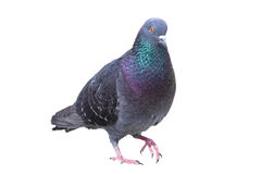 Isolated male feral pigeon Stock Photography