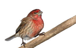 Isolated male house finch Stock Photography