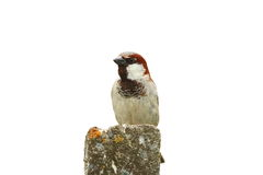 Isolated male house sparrow Royalty Free Stock Image