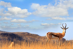 An isolated male impala standing on a hill Stock Image