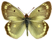 Isolated male Mountain Clouded Yellow butterfly Royalty Free Stock Photo