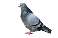 Isolated male pigeon Royalty Free Stock Photography