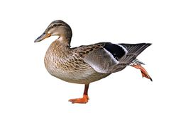 Isolated mallard duck. Isolated female mallard duck on a feet Royalty Free Stock Photography