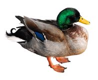 Isolated mallard duck Stock Photography