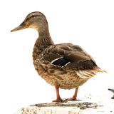 Isolated mallard duck standing on a boat Royalty Free Stock Images