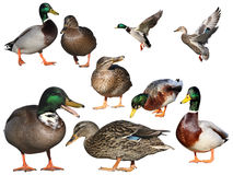 Isolated mallards Stock Image