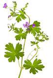 Isolated Malva sylvestris plant. Showing the palmate leaves and purple flowers which are used in herbal medicine as a weight loss supplement and to clean the Stock Photography