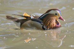 Isolated mandarin duck  on the green water background. Isolated mandarin duck  on the green water Stock Photos