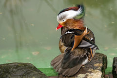 Isolated mandarin duck  on the green water background. While weaving Stock Image