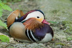 Isolated Mandarin Duck while looking at you. Isolated colorful Mandarin Duck while looking at you stock photos