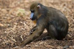 Isolated Mandrill Monkey portrait Stock Images