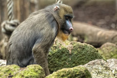 Isolated Mandrill Monkey portrait Royalty Free Stock Image