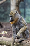 Isolated Mandrill Monkey portrait Royalty Free Stock Photo