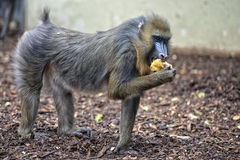 Isolated Mandrill Monkey portrait Stock Image