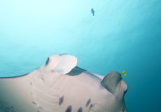 An isolated Manta in the blue background. In Papua stock photo