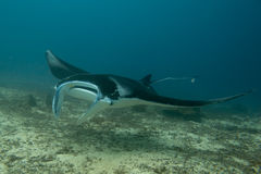 An isolated Manta coming to you in the blue background. In Papua Indonesia blue ocean water while scuba diving royalty free stock photography