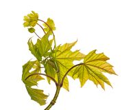 Isolated maple foliage with flowers Royalty Free Stock Images