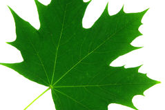 Isolated maple leaf 1 Royalty Free Stock Image