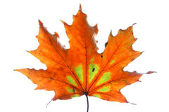 Isolated maple leaf. Isolated colorful fall maple leaf Royalty Free Stock Photo