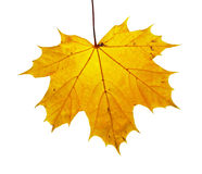 Isolated maple leaf Stock Photography