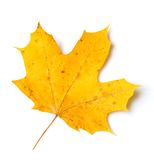 Isolated maple leaf stock photo