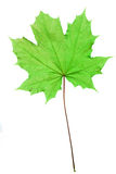 Isolated Maple leaf. With alot of detail, photographed using backlighting Stock Photos