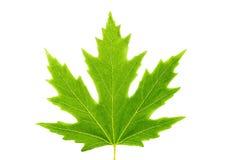 Isolated maple leaf isolated maple leaf stock image