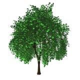 Isolated maple tree Royalty Free Stock Photos