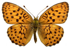 Isolated Marbled Fritillary butterfly. Marbled Fritillary (Brenthis daphne) isolated on white background royalty free stock photos