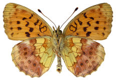Isolated Marbled Fritillary butterfly. Marbled Fritillary (Brenthis daphne) seen from below isolated on white background stock photos
