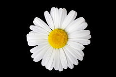 Isolated Marguerite Flower Stock Photo