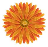 Isolated marigold Stock Images