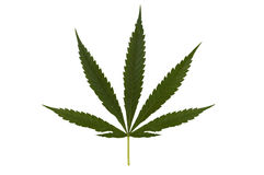 Isolated marihuana leaf. Isolated marijuana leaf on white with clipping path included royalty free stock photography