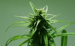 Isolated marijuana leaf with bud. stock photo