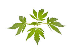 Isolated marijuana leaves Stock Image