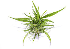 Isolated marijuana plant Stock Photos