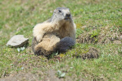 Isolated Marmot while grooming Royalty Free Stock Photo