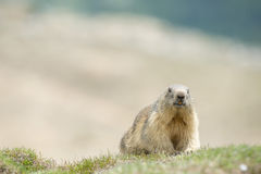 Isolated Marmot Stock Image