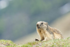 Isolated Marmot Royalty Free Stock Photos
