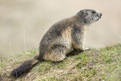 Isolated Marmot Stock Photo