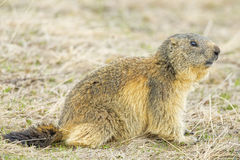 Isolated marmot portrait while coming to you Stock Photography