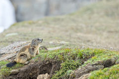 Isolated marmot portrait while coming to you Stock Photos