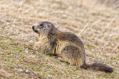 Isolated marmot portrait while looking for food Stock Photos